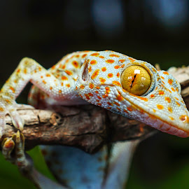 Tokek 2 by Yosa Andika - Animals Reptiles