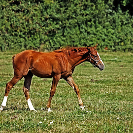Foal by Michael Moore - Animals Horses