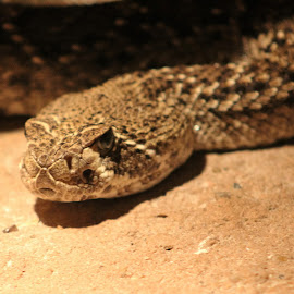The Angry Look by Corey Williamson - Animals Reptiles ( look, up close, snake, zoo, nature, rattle snake, rattlesnake, venomous, angry, reptile, eyes )