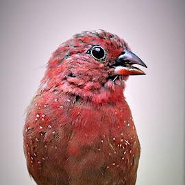 Red-billed Firefinch by Pieter J de Villiers - Animals Birds