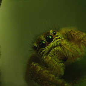 Jumping Spider by Gokul Rajenan - Animals Insects & Spiders ( #nature #greenish #eyes #spider )