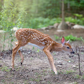 Scary stick by Angela Fox - Animals Other Mammals ( curious, nature, deer fawn wildlife nature curious, wildlife, fawn, deer )