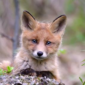 Fox cub by Marius Birkeland - Animals Other Mammals ( predator, fox, pup, cub, animal,  )