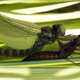 by Mark Collins - Nature Up Close Other Natural Objects ( reed, pondlife, dragonfly, insect )
