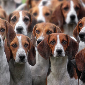 pack of hounds by Michael Milfeit - Animals - Dogs Portraits ( breed, natural light, domestic dog, meute, pack, cute, hunde, natural background, adorable dogs, foxhunting, mamal, beagle, animal, hunting dog, canis familiaris, animalia, adult, portrait, canine, animal kingdom, stand, hound, zoology, fuchsjagd, dog, group, standing )