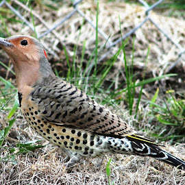 Flicker by Rita Flohr - Novices Only Wildlife ( bird, nature, flicker, wildlife, backyard )
