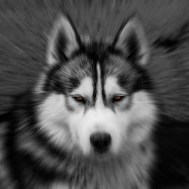 by Teodor Stojanovski - Animals - Dogs Portraits ( canon, black and white, husky, dog, photography )