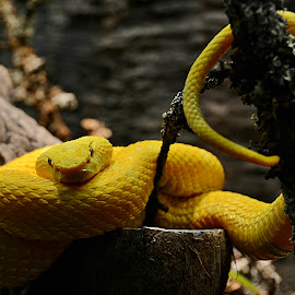 Yellow by Wendy Faber - Animals Reptiles