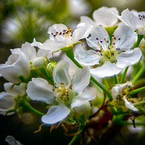 Pear Blossoms by Rogerio Ribas - Flowers Tree Blossoms (  )