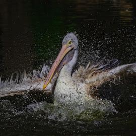 Pelican in waterdrops by Michaela Firešová - Animals Birds ( waterdrops, bird, pelican )