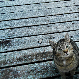 Please Let Me Inside! by Liz Pascal - Animals - Cats Playing ( snow cats, tabby cat, tiger cat, green eyed cat, outdoor kitties, winter cat )