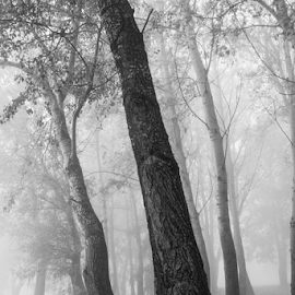 Fog4 by Josip Ćutunić - Nature Up Close Trees & Bushes ( wild, wood, tree, nature, fog )