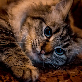 Blue eyes cat playing by Ioana Rusu - Animals - Cats Playing ( cat, cat eyes, blue eyes, cat playing,  )