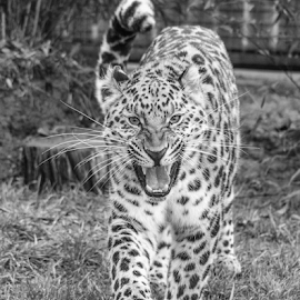 Leopard by Garry Chisholm - Black & White Animals ( leopard, mammal, nature, big cat sanctuary, garry chisholm )