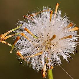 Ragwort Seedhead by Chrissie Barrow - Nature Up Close Other plants ( plant, orange, wild, macro, nature, green, white, seeds, bokeh, ragwort, closeup, seedhead )
