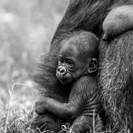 Young life by Garry Chisholm - Black & White Animals ( canon, nature, ape, gorilla, garrychisholm, primate, twycross )
