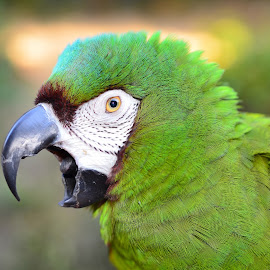 Severe Macaw by Tracy Starr - Animals Birds ( green parrot, parrot, beautiful, tropical, mini macaw, animal face, exotic, angry bird, close up, beak, severe macaw, loud animal, macaw )