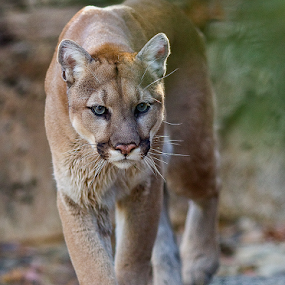 Cougar by Herb Houghton - Animals Other Mammals ( wild cat, big cat, cougar, mountain lion, panther )