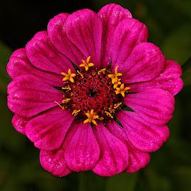Zinia rose by Gérard CHATENET - Flowers Single Flower