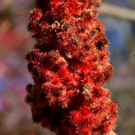 Sumac by Cal Brown - Nature Up Close Trees & Bushes ( sumac, red, tree, fruits, bush, nature up close,  )