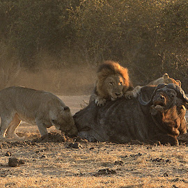 Sad, but that's nature by Beverley Butler - Animals Lions, Tigers & Big Cats ( buffalo, kill, lions, golden hour )