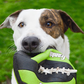 Play? by Rebekah Cameron - Animals - Dogs Playing ( mansbestfriend, football, happy, play, smile, dog )