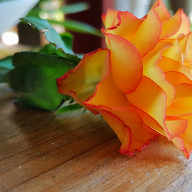 Glowing rose by Hayley Moortele - Flowers Single Flower ( #wood, #flowers, #orange, #leaves, #green, #singleflower, #yellow, #petals, #rose )