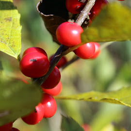 by Lenora Popa - Nature Up Close Other plants ( macro, red berries, nature, nature up close, berries )