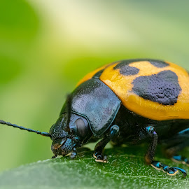 Yellow Beetle by Carl Albro - Animals Insects & Spiders ( macro, beetle, bug, closeup, insect )