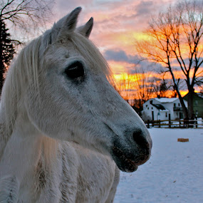 Horse in a Winter Sunset  by Emily Jones - Animals Horses ( winter, snow, horse, white, animal )