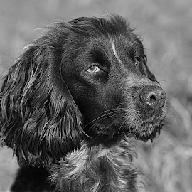Little Revel by Chrissie Barrow - Black & White Animals ( monochrome, ear, black and white, cocker spaniel, pet, fur, dog, mono, nose, portrait, eye, animal,  )