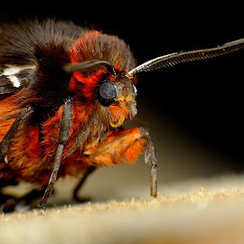 Garden Tiger Moth by Pat Somers - Animals Insects & Spiders