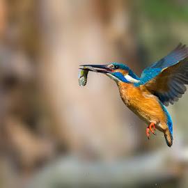 Fishing by Roberto Melotti - Animals Birds ( river kingfisher, wild, roberto melotti, fish, nikon d810, eurasian kingfisher, prey, common kingfisher, bird, flying, flight, kingfisher, capture )