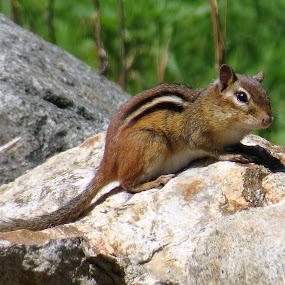Chippie by Erika  Kiley - Novices Only Wildlife ( chipmonk, summer, forest, small, rocks )