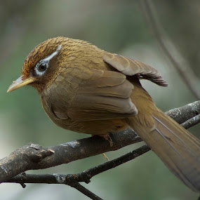 Hua-mei by William Tan - Animals Birds ( bird, hua-mei, eye-liner, brown, portrait )
