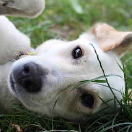 by Suzana Svečnjak - Animals - Dogs Playing