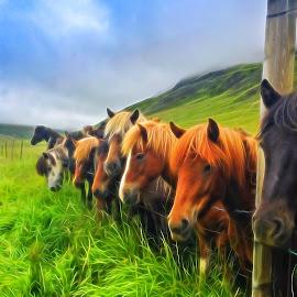 Horses at Baugasel farm by Hraunið      Hekla - Digital Art Animals ( iceland, horses, baugasel )