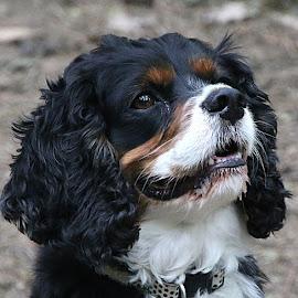 Jack by Chrissie Barrow - Animals - Dogs Portraits ( male, white, portrait, teth, ear, pet, fur, cavalier king charles spaniel, dog, nose, tan, black, eye,  )