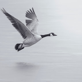 Canada Goose In Flight by Brandon Downing - Animals Birds ( bird, macro, nature, black and white, fine art, wildlife, in flight, animal, goose )
