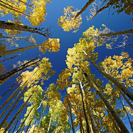 Changing Aspen by Justin Giffin - Nature Up Close Trees & Bushes ( nature, autumn, colorado, trees, leaves, aspen )