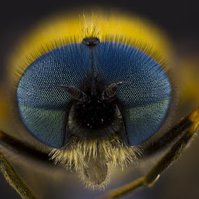 chloromyia formosa by Cédric Nouvel - Animals Insects & Spiders