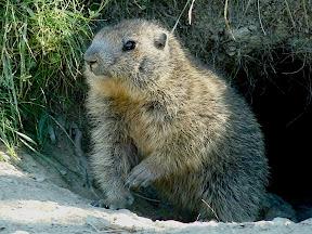 Marmottes du Lac Miroir