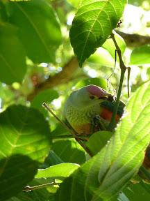Pigeon vert