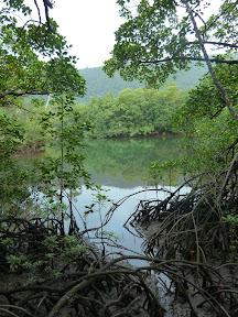 Mangrove, Cape Tribulation