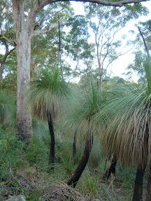 Spiky grass trees
