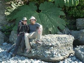 Rhubarbes géantes
