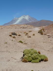 Llaretas devant le volcan Ollagüe