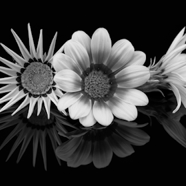 3 Glorious Gazanias - Black and White by Sharon Wills - Black & White Flowers & Plants ( isolated object, reflection, petals, reflected, gazanias, daisy, reflections, dark background, yellow, yellow gazania, black background, mirror, asteraceae, nature, treasure, flower head, three, mirrored, three gazanias, head, flowers, flower reflection, flower, black, three flowers, gazania reflection, daisy flower, flora, flower heads, 3 flowers, yellow flower, yellow gazanias, 3, yellow flowers, gazania, background, treasure flower, 3 gazanias, dark surface, reflect,  )