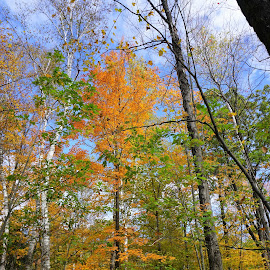 Fall Color by Kathy Kehl - Nature Up Close Trees & Bushes ( orange, tree, green, orange leaves, leaves )