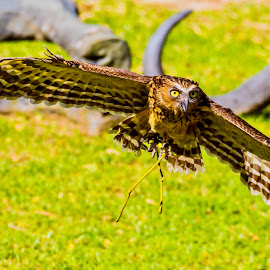 Full Flight by Ken Nicol - Animals Birds (  )